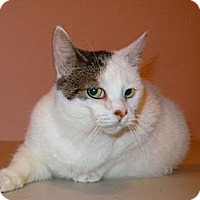 Domestic Shorthair Cat for adoption in East Brunswick, New Jersey - Brooke