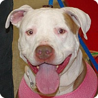 American Pit Bull Terrier Dog for adoption in Longview, Washington - Tinkerbell