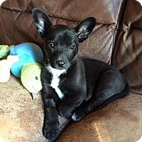 Adopt A Pet :: Pinkgo's Ross - Las Vegas, NV