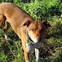Pit Bull Terrier Mix Dog for adoption in Petaluma, California - Carlie