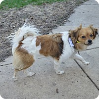 Adopt A Pet :: Isabelle - Wyanet, IL