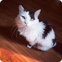 Domestic Mediumhair Cat for adoption in Richmond, Virginia - Wilson