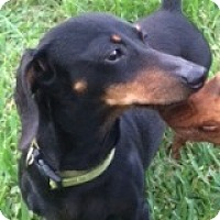 Dachshund Dog for adoption in Houston, Texas - Lexi San Lucas