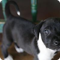 Adopt A Pet :: Dozer - San Antonio, TX