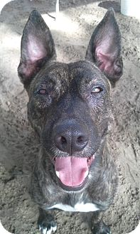 Belgian Malinois Mix Dog for adoption in Odessa, Florida - POPPY
