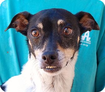 Parson Russell Terrier/Italian Greyhound Mix Dog for adoption in Las Vegas, Nevada - Simba