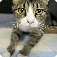 Domestic Shorthair Cat for adoption in Rapid City, South Dakota - Laverne