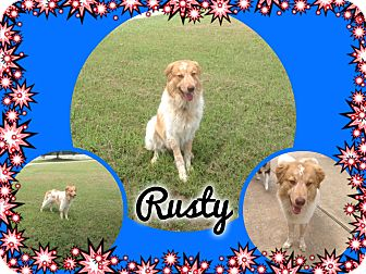 Collie/Great Pyrenees Mix Dog for adoption in Houston, Texas - Rusty