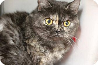 Persian Cat for adoption in Phoenix, Arizona - Penny