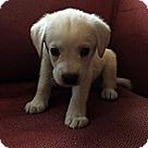Adopt A Pet :: Charlie's Pup Linus