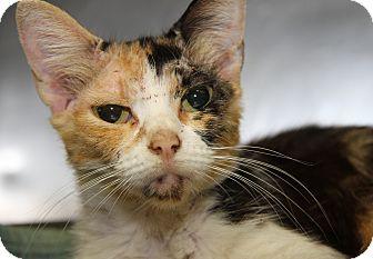 Calico Cat for adoption in Marietta, Ohio - Susie Belle (FeLV Positive)