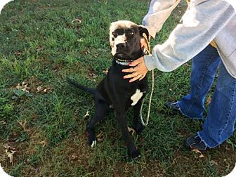 Labrador Retriever Mix Dog for adoption in Beckley, West Virginia - Gibbs