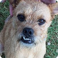 Adopt A Pet :: 397850        Scrappy - San Antonio, TX
