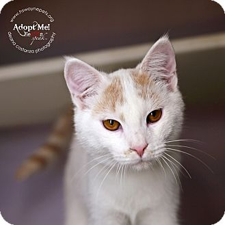 Domestic Shorthair Cat for adoption in Lyons, New York - Polo