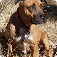 Adopt A Pet :: Gia - courtesy listing - Westminster, CO