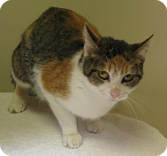 Domestic Shorthair Cat for adoption in Gary, Indiana - Charlotte