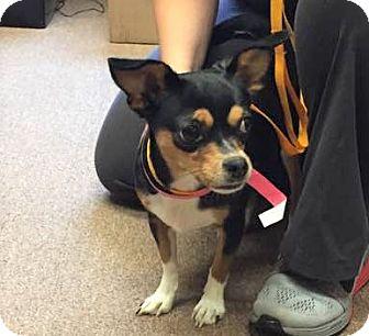Miniature Pinscher/Corgi Mix Dog for adoption in Poughkeepsie, New York - Chicarita