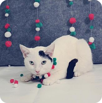 Domestic Shorthair Cat for adoption in Taylorsville, Indiana - Sophia