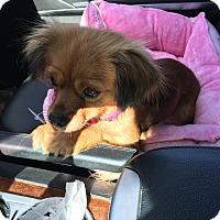 Adopt A Pet :: MADDY (COURTESY POST) - Phoenix, AZ