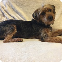 Terrier (Unknown Type, Small) Mix Dog for adoption in New Oxford, Pennsylvania - Lyric