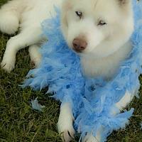 Adopt A Pet :: Isabella - Harvard, IL