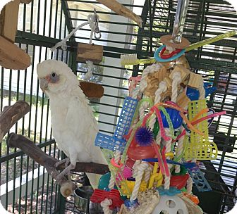 Cockatoo for adoption in Punta Gorda, Florida - Opal