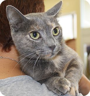 Russian Blue Cat for adoption in Vero Beach, Florida - LuLu