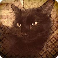 Adopt A Pet :: Shebah - St. Louis, MO