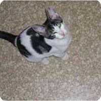 Adopt A Pet :: Snuggles (DS) - Little Falls, NJ