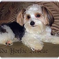 Adopt A Pet :: Parti Time Teddy  Bear - Palm City, FL