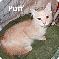 Adopt A Pet :: Puff - Bentonville, AR