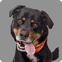 Rottweiler bernese mountain dog mix dog for adoption in mission hills