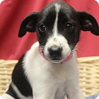 Adopt A Pet :: Rose - Waldorf, MD