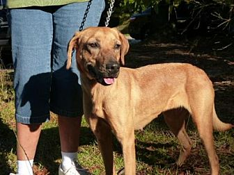Hound (Unknown Type)/Labrador Retriever Mix Dog for adoption in Conway, South Carolina - Mindy