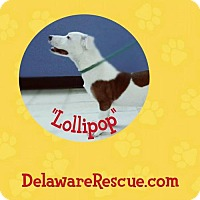 Adopt A Pet :: Lollipop - Seaford, DE