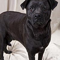 Boxer/Labrador Retriever Mix Dog for adoption in St. Louis, Missouri - Jango Boxer Lab