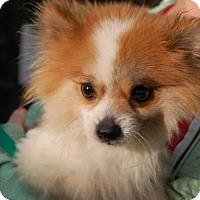 Adopt A Pet :: Fluff - Brooklyn, NY
