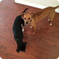Dachshund/Jack Russell Terrier Mix Dog for adoption in Houston, Texas - Joan