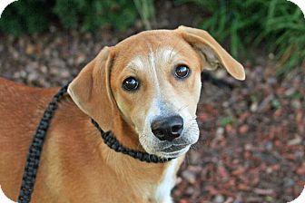 Labrador Retriever/Hound (Unknown Type) Mix Puppy for adoption in Joliet, Illinois - Angelina