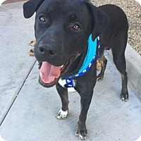 Labrador Retriever/Rottweiler Mix Dog for adoption in Peoria, Arizona - Charlie