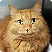 Domestic Mediumhair Cat for adoption in Paris, Maine - Max