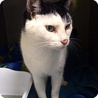 Domestic Shorthair Cat for adoption in Manchester, Connecticut - Augie (in CT)