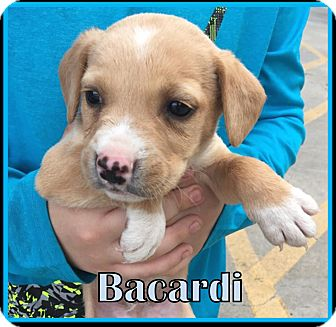 Labrador Retriever Mix Puppy for adoption in Ringwood, New Jersey - Bacardi