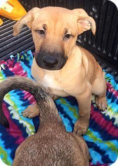 Shepherd (Unknown Type)/Labrador Retriever Mix Puppy for adoption in san diego, California - Cooper