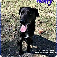 Adopt A Pet :: Henry - Killeen, TX