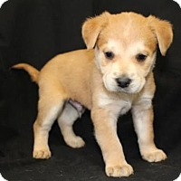 Adopt A Pet :: Bart - Chester Springs, PA