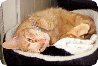 Manx Cat for adoption in Maple Ridge, British Columbia - Nick - VIDEOS