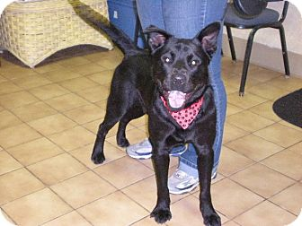 "Chow Chow/Labrador Retriever Mix Dog for adoption in New Castle, Pennsylvania - "" Chance """