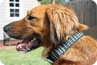 Golden Retriever Mix Dog for adoption in Cheshire, Connecticut - Reese