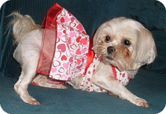 Shih Tzu Dog for adoption in Mooy, Alabama - Danielle